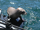 Hitch hiking seal, Farallon Islands CA