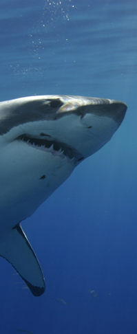 Shark Cage Diving Around the World: The Farallons, Bahamas, South Aftica, Isla Guadalupe Mexico
