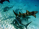 Tiger sharks and lemon sharks discover the bait ball