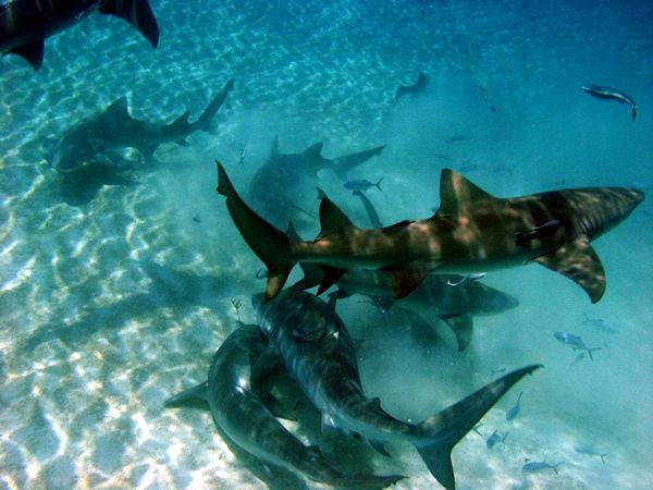 Тигровая акула Красное море.