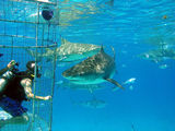 Tiger shark approaches the cage used by divers to shoot video and photos