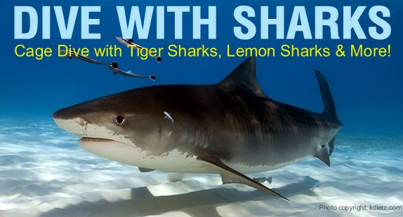 Dive with the sharks of Tiger Beach, Grand Bahama, in the Bahamas