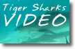 Tiger Sharks Video